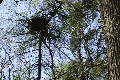 Greifvogelhorst im Wald am Stork